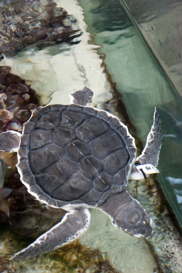 Kemp's Ridley sea turtle rescued BP Deepwater horizon Oil spill cleaned with mayonnaise and and vegetable oil then placed on display in the Audubon Nature Institute educate spill rescued